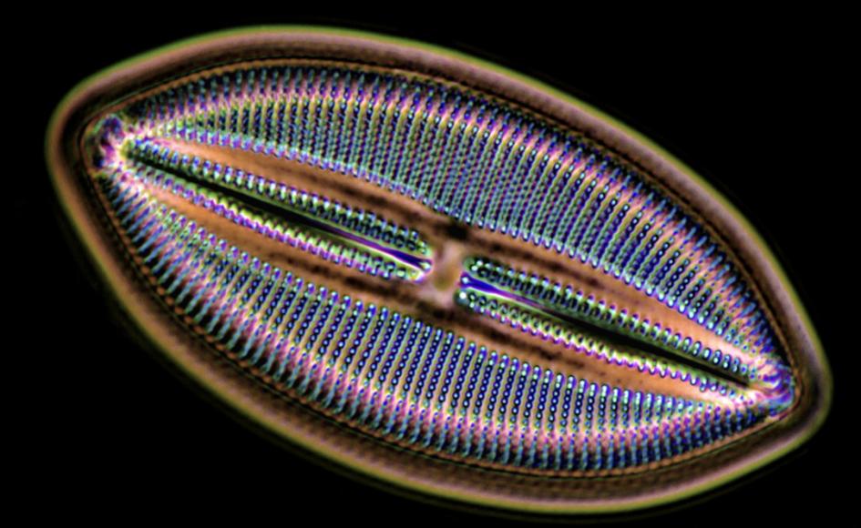 Clase Bacillariophyceae