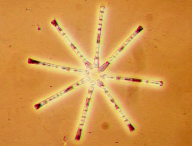 Clase Fragilariophycidae