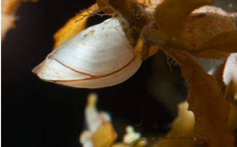Percebe (crustáceo) como parte de la misma comunidad adherida al Sargaso