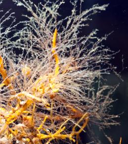 Colonias hidroides (cnidarios) creciendo comúnmente sobre Sargaso
