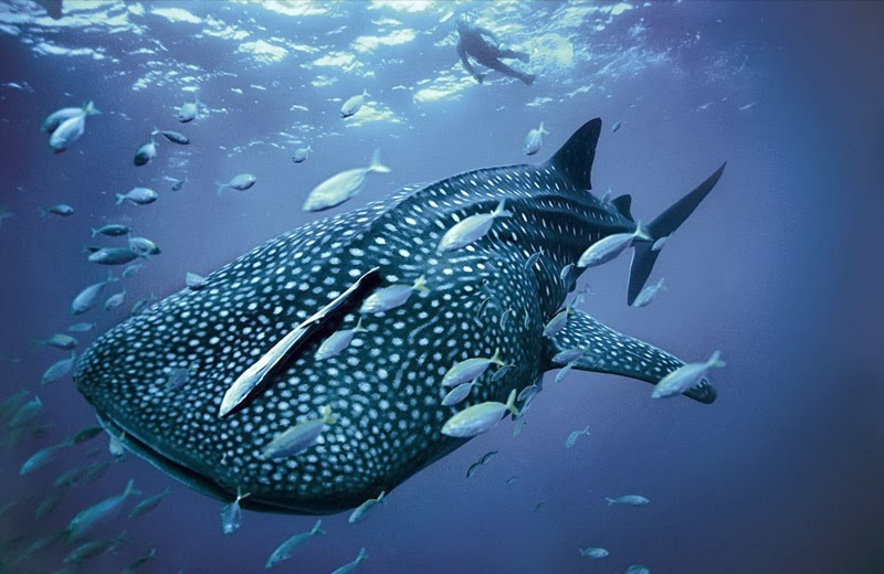 tiburón_ballena